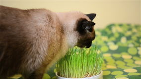 Siamese male cat eating grass stock footage