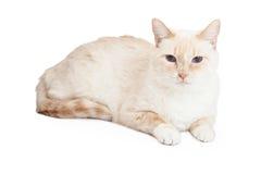 Siamese Mengelingsras Cat Laying Stock Foto