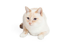 Siamese Mengelingsras Cat Laying Looking Sideways Stock Afbeelding