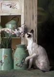 Siamese moeder en katje Royalty-vrije Stock Foto's