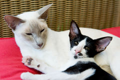 Siamese mother with kitten Royalty Free Stock Images