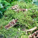 Siamese neem tree Stock Image