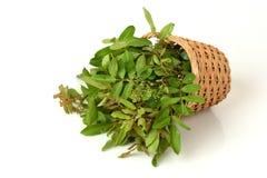 Siamese neem tree, Nim, Margosa, Quinine (Azadirachta indica A. Juss. Var. Siamensis Valeton) Royalty Free Stock Photo