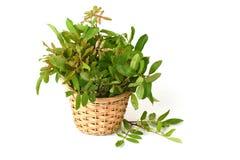 Siamese neem tree, Nim, Margosa, Quinine (Azadirachta indica A. Juss. Var. Siamensis Valeton) Stock Photos
