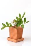 Siamese neem tree, Nim, Margosa, Quinine (Azadirachta indica A. Juss. Var. Siamensis Valeton) Royalty Free Stock Image
