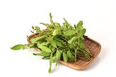 Siamese neem tree, Nim, Margosa, Quinine (Azadirachta indica A. Juss. Var. Siamensis Valeton) Royalty Free Stock Images