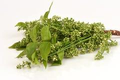 Siamese neem tree, Nim, Margosa, Quinine Azadirachta indica A. Juss. Var. Siamensis Valeton Royalty Free Stock Photos