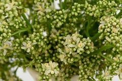 Siamese neem tree, Nim, Margosa, Quinine Azadirachta indica A. Juss. Var. Siamensis Valeton Stock Photography