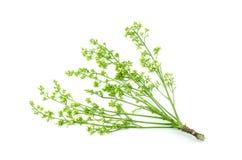 Siamese neem tree on white background stock photos