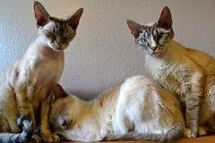 Siamese och Devon Rex Cats Royaltyfri Fotografi