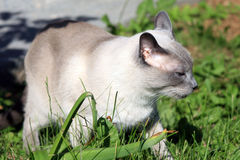 Siamese Outdoors Royalty Free Stock Images