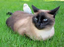 Siamese & Parakeet. Best friends in the yard Stock Photos