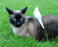 Siamese & Parakeet. Best friends in the yard royalty free stock images