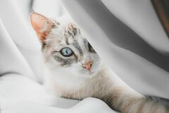 Free Siamese Point Lynx Cat Looking Out Of The White Curtains Royalty Free Stock Photo - 180126415