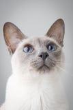 Siamese Portret van de Kat op Grijs Stock Foto