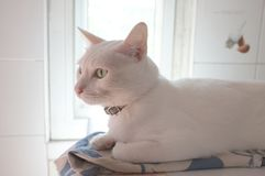 The Siamese Pure White cats face. The cat odd eyes has one golden eye and one blue one. Concept cute animal Stock Image