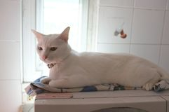 The Siamese Pure White cats face. The cat odd eyes has one golden eye and one blue one. Concept cute animal Stock Photos