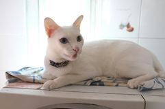 The Siamese Pure White cats face. The cat odd eyes has one golden eye and one blue one. Concept cute animal Stock Photo