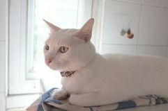 The Siamese Pure White cats face. The cat odd eyes has one golden eye and one blue one. Concept cute animal Stock Images