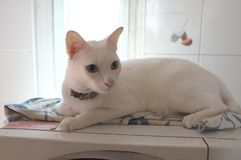 The Siamese Pure White cats face. The cat odd eyes has one golden eye and one blue one. Concept cute animal Royalty Free Stock Photography