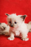 Siamese purebred. A two week old Siamese on a red background Stock Images