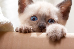 Siamese pussycat. Over cardboard looking royalty free stock photos