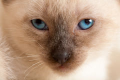 Siamese pussycat Royalty Free Stock Image