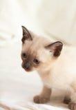 Siamese pussycat Stock Image