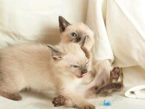 Siamese pussycat Stock Photos