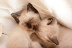 Siamese pussycat. S sleeping on whitr royalty free stock photos