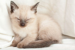 Siamese pussycat Royalty Free Stock Photography