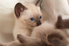 Siamese pussycat stock photography