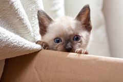 Siamese pussycat over cardboard. Looking royalty free stock photos