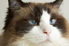 Siamese Ragdoll Cat Stock Photos