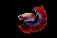 Siamese red fighting fish isolated on black. Background royalty free stock photos
