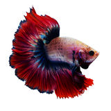Siamese red fighting fish isolated on white. Background stock photos