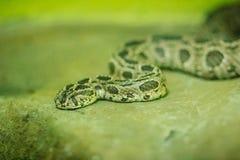 Siamese russells huggorm (daboiarusseliisiamensis) i ormen Fotografering för Bildbyråer