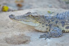 Siamese s?tvattens- krokodil Krokodiler som vilar p? krokodillantg?rden i Thailand arkivbild