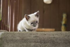 Siamese Shorthair cat is walking on the asphalt. Blue eyed little domestic kitten. Village pet. Creamy fur. Grey background.  royalty free stock photos