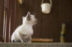 Siamese Shorthair-kat loopt op het asfalt Blauwe eyed weinig binnenlands katje Dorpshuisdier Romig bont Grijze achtergrond royalty-vrije stock foto's