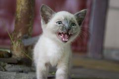 Siamese Shorthair-kat loopt op het asfalt Blauwe eyed weinig binnenlands katje Dorpshuisdier Romig bont Grijze achtergrond stock afbeeldingen