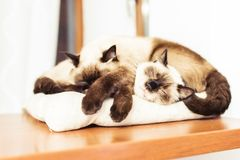 Siamese siblings cats sleeping. Together on a pillow Royalty Free Stock Images