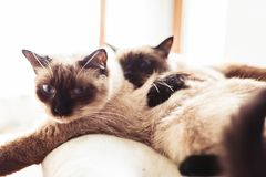 Siamese siblings cats sleeping. Together on a pillow Royalty Free Stock Image