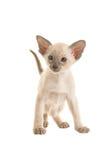 Siamese skyddsremsapunkt behandla som ett barn katten Royaltyfri Fotografi
