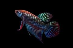 siamese slåss fisk Royaltyfria Bilder