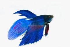siamese slåss fisk Fotografering för Bildbyråer