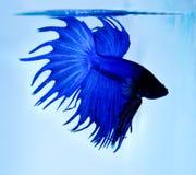 siamese slåss fisk Royaltyfri Fotografi