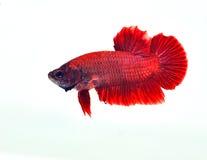 siamese slåss fisk Arkivfoton
