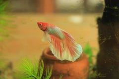 siamese slåss fisk Royaltyfria Foton