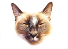 Siamese Snowshoe Cat Face Stock Photo